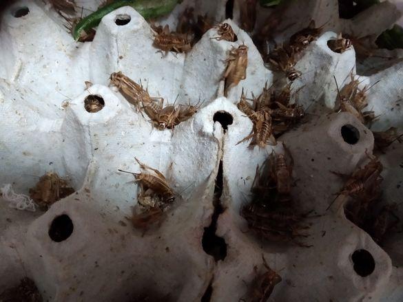 Щурци,брашнен червей,морио