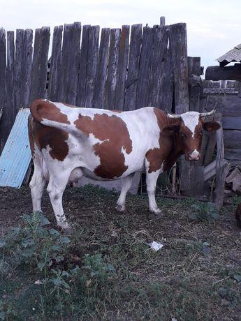 Продаётся   отеленная    корова с  теленком  (
