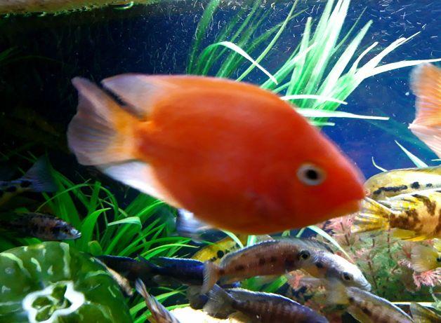 Рыба попугай Red Parrot Cichlid)