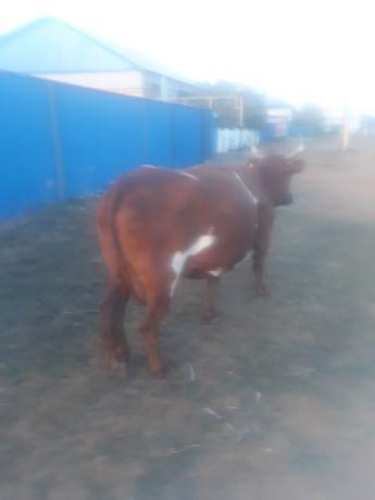 Корову продам в хорошие руки