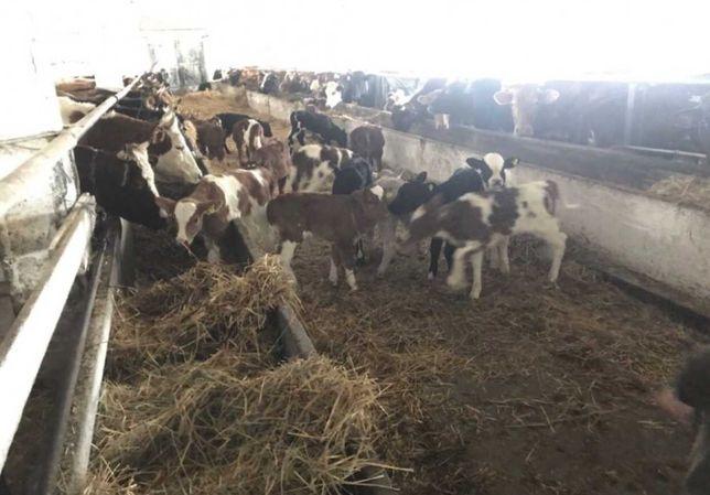Продам бузау бузаулар корова бык Ангус бука сатылады сатилатин акбас