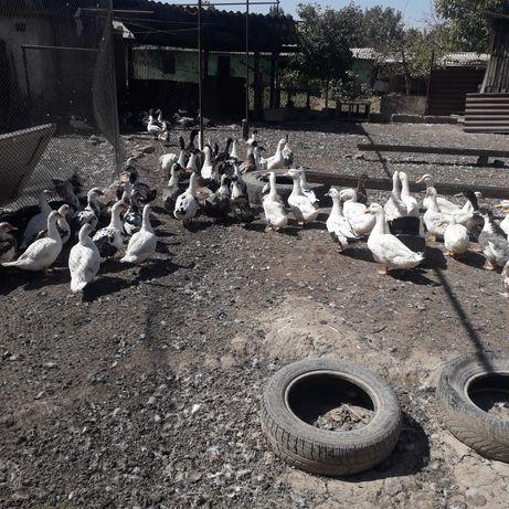 Продоются пекинские утки