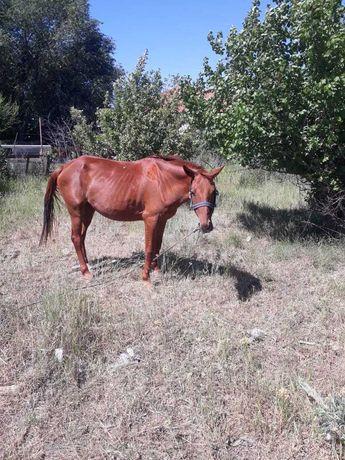 Буаз бие сатылады, Продается жеребая (беременная) лошадь