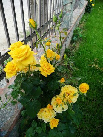 Trandafiri pitici, normali, cataratori, japonez, palmier, leandru