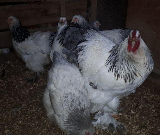 Găini brahma HD şi HDA