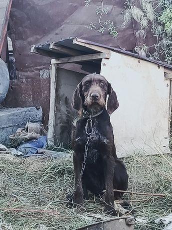 Дратхаар Охотничий Собака