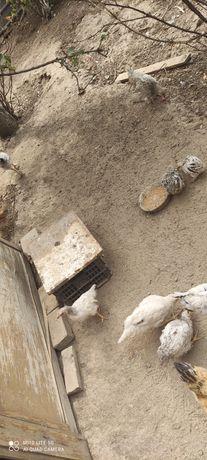 Продам цыплят 2 месячные