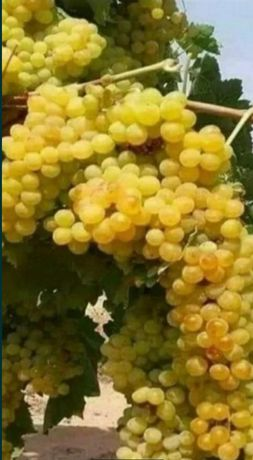 Struguri de vin alb și rosu