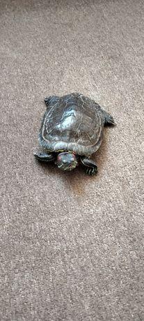 Продам красноухую черепаху