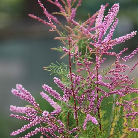 Tamarix ,Salcie japoneza,Cornus alba ,Pyracantha