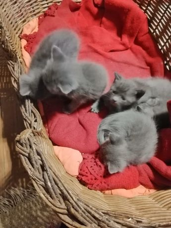 Pui de pisica Albastru de Rusia