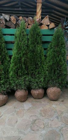 Plante ornamentale pt o grădină de vis se ofèră livrare la domiciliu