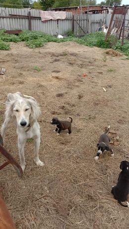 Продам тазы с щенятами за 60000 тысяч тенге