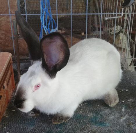 Vând iepuri urias de Transilvania