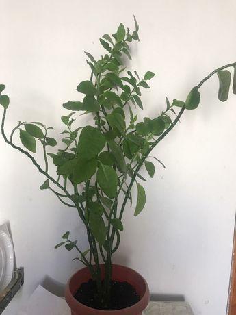 Продам разные комнатные растения