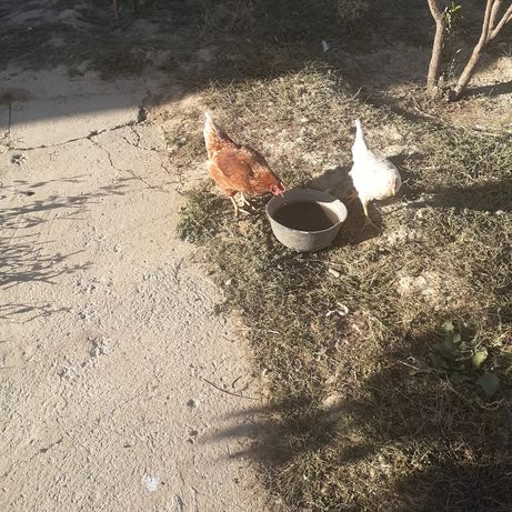 Курица(несушка) -9 штук. Цыплята взрослые (петухи) - 20 штук.