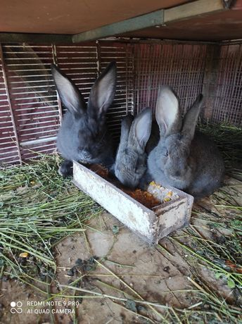 Vând pui de iepuri
