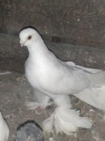 Продам белый голубь
