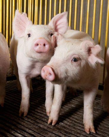 Продаются молочные поросята и свиньи. На мясо  и на выращивание.
