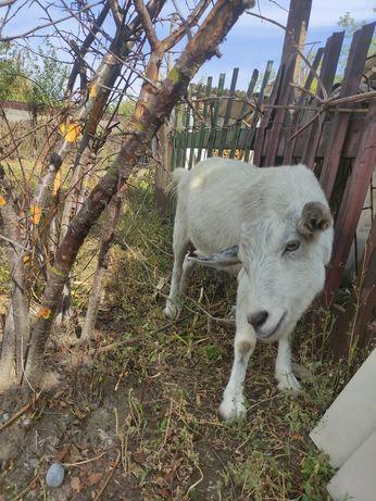Продается дойная коза. + козел