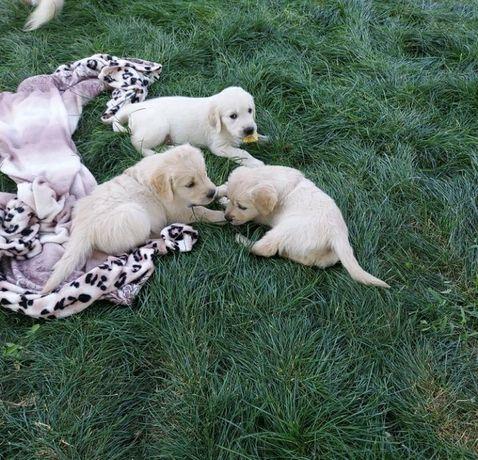 Золотистого ретвирера щенки девочки и мальчики