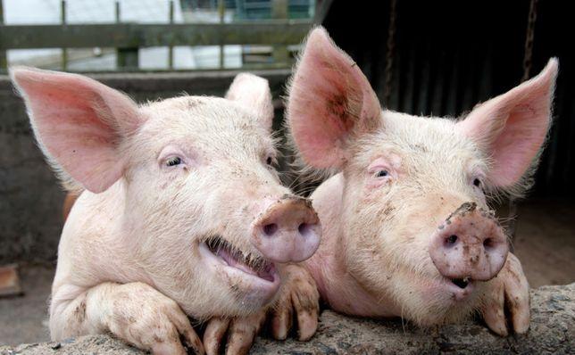 хряки свиньи поросята продам
