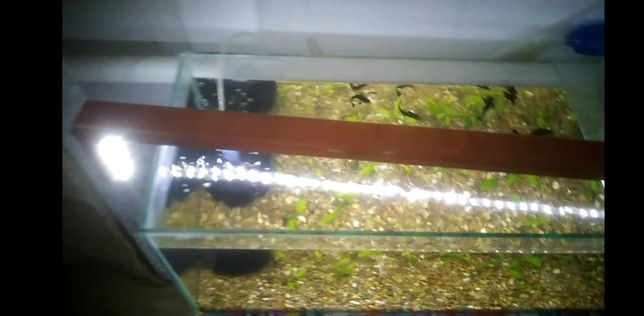 Аквариум 60литр моллиннзия и мольки, аквариум в комплекте 30,000тг,или
