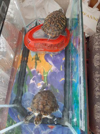 Продам черепах красноухих