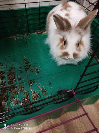 Кролик порода львиная голова