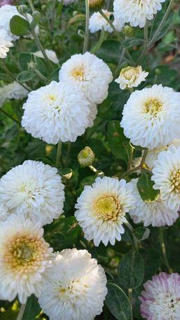 Хризантема-летняя
