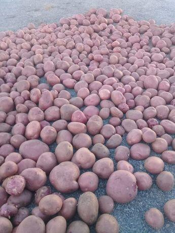 Картошка домашний красный