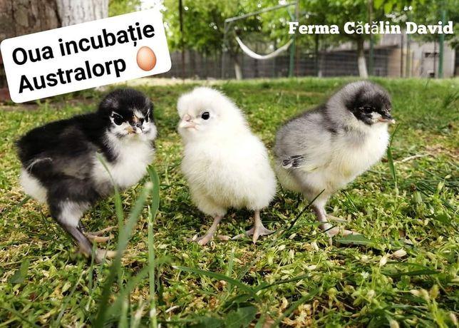 Oua pentru incubație Australorp