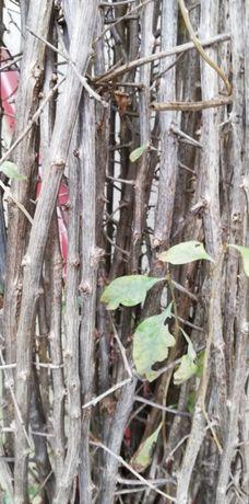 Plante Goji de 2 ani 1,2m...1m...0,8m înălțime
