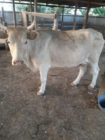 Хорошая корова 2 отела !