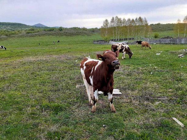 Продам дойных коров и телят (вместе) Симментальской породы