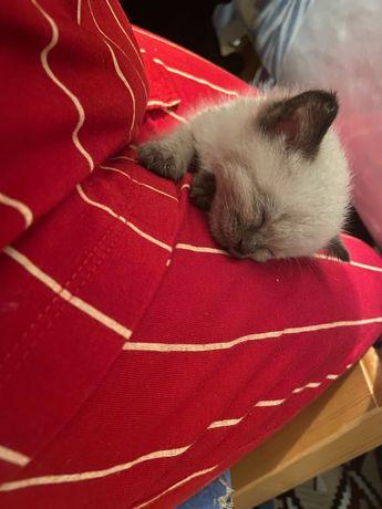 Котёнок маленький домашний