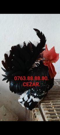 De vanzare COCOS CHABO BOBAT 2019. Original Bulgaria.