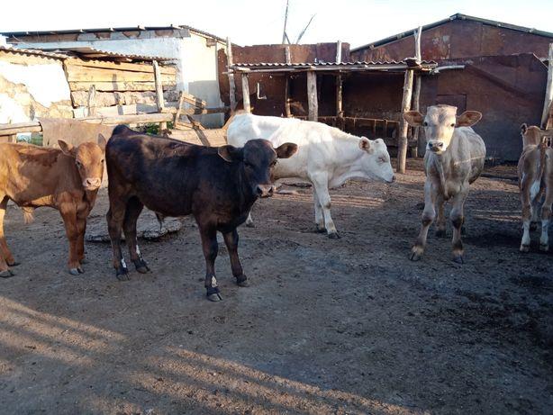 Продам телят все бычки