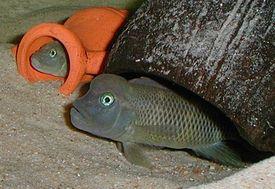 """Рыба-казуар (львиноголовка) в """"Живом Уголке в Таугуле"""