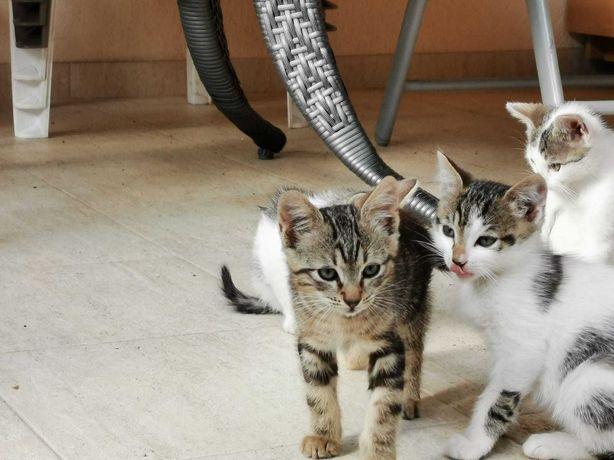 Dau spre adoptie Pui de pisica