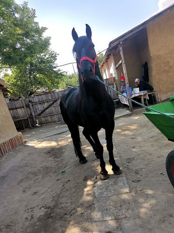 Vând cal de rasă