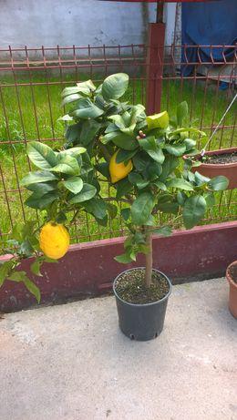 Lamaii cu Fructe si Flori Lamai Ornamental, Portocal Dimensiuni Reduse