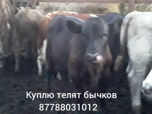 Только телят бычков