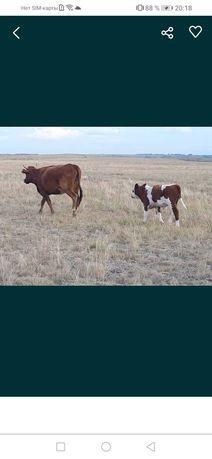 Продам корову с теленкам теленку