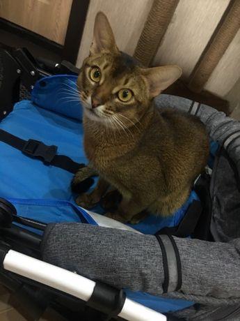 Вязка абиссинского котика