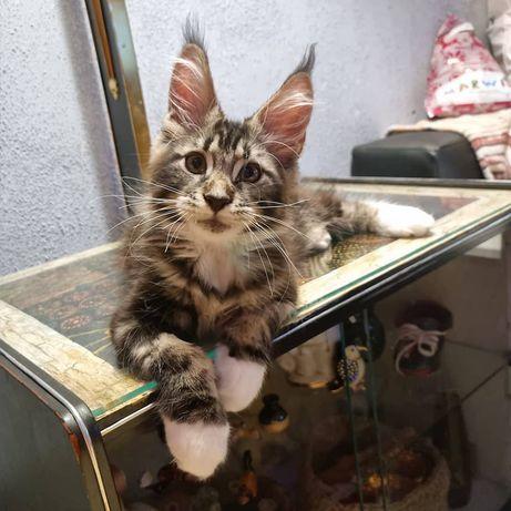 Предлагается к продаже котёнок мейн кун Орфей