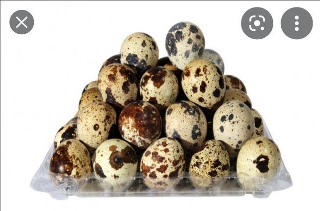 Инкубационные яйца перепеленный