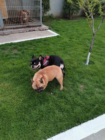 Femela bulldog francez matura