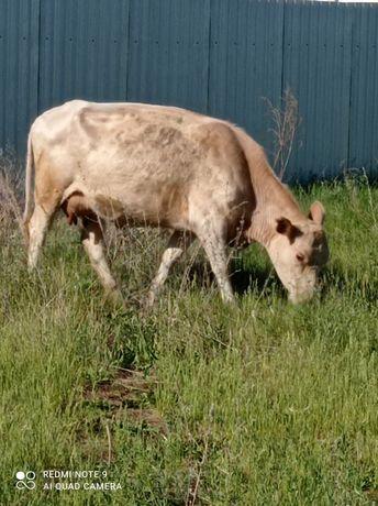 Продам телят, бычков, тёлок, коров можно на мясо