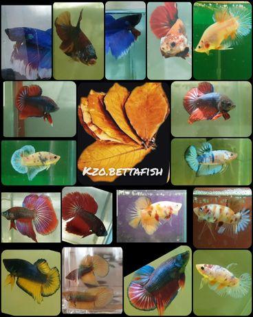 Рыбки петушки, петушок (bettafish)